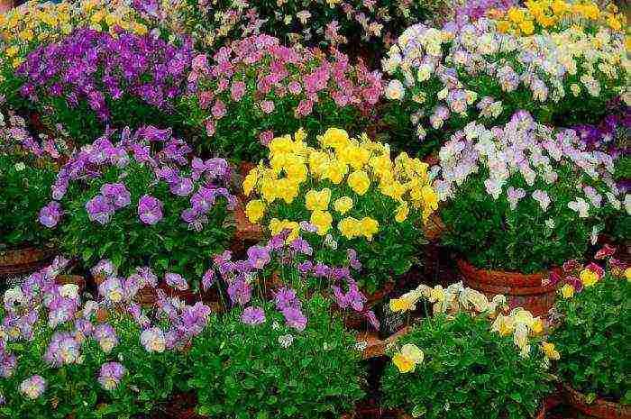 Виола цветы