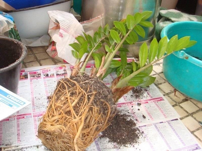 Пересадка замиокулькаса: как в домашних условиях пересадить «долларовое дерево» после покупки в другой горшок? можно ли пересаживать цветок зимой?