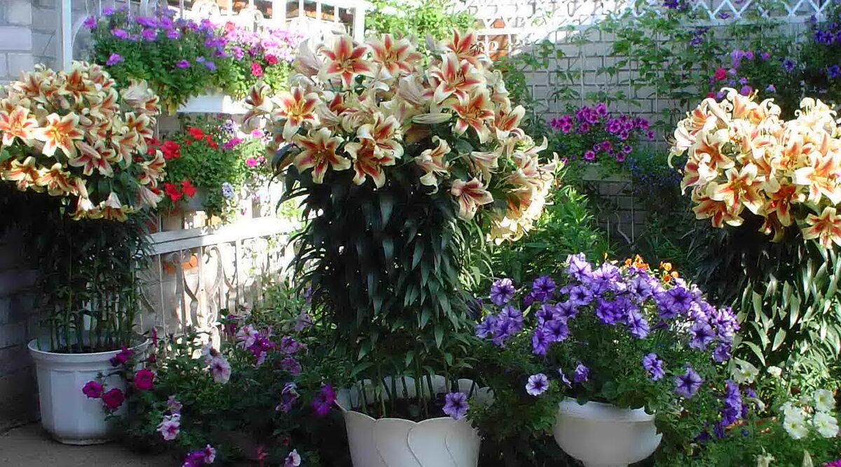 Очередной обман доверчивых цветоводов – древовидные лилии