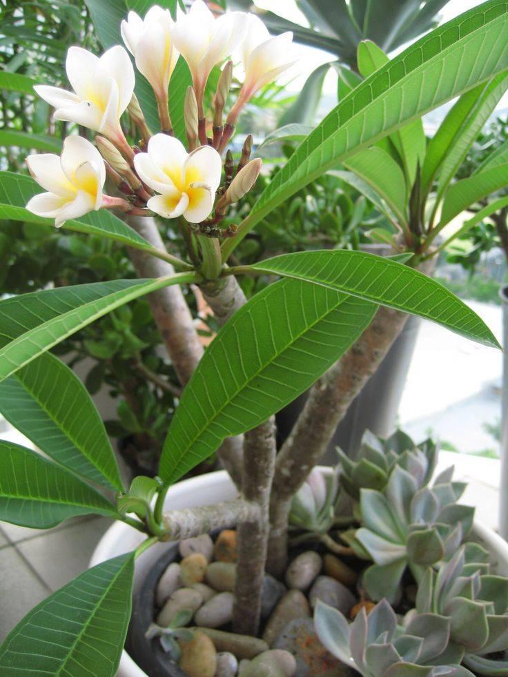 Цветок плюмерия: уход в домашних условиях