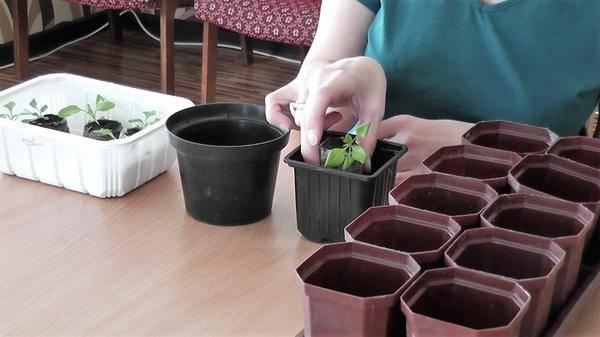 Как посадить петунию в кашпо (горшок) на улице своими руками и ухаживать за ней