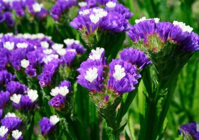 Многолетники в саду: кермек татарский, он же перекати-поле