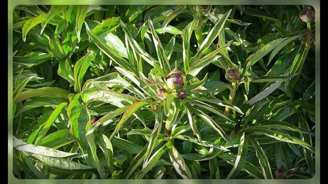 Болезни ирисов и их лечение (23 фото): почему гниют бутоны и желтеют листья? мухи на цветах и борьба с ними. что делать, если загнивают ирисы и чем их обработать?
