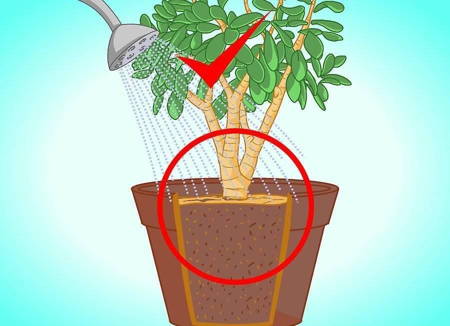 Правильная посадка и пересадка денежного дерева: чтоб водились деньги