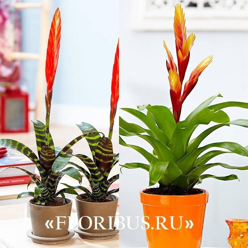 Вриезия: все нюансы ухода за цветком в домашних условиях + фото и видео