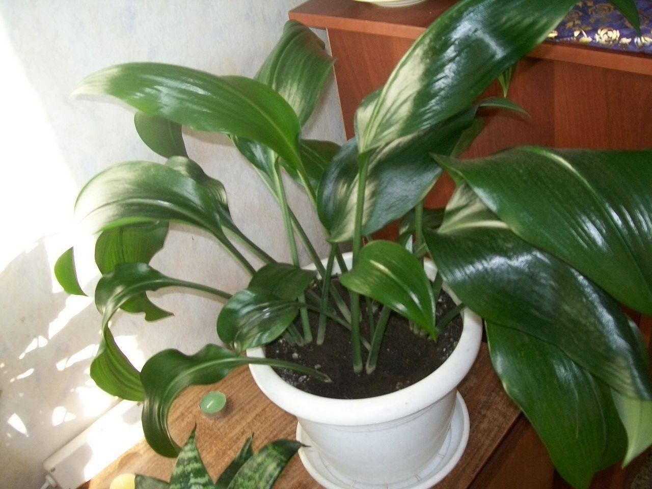 Комнатная лилия – уход в домашних условиях