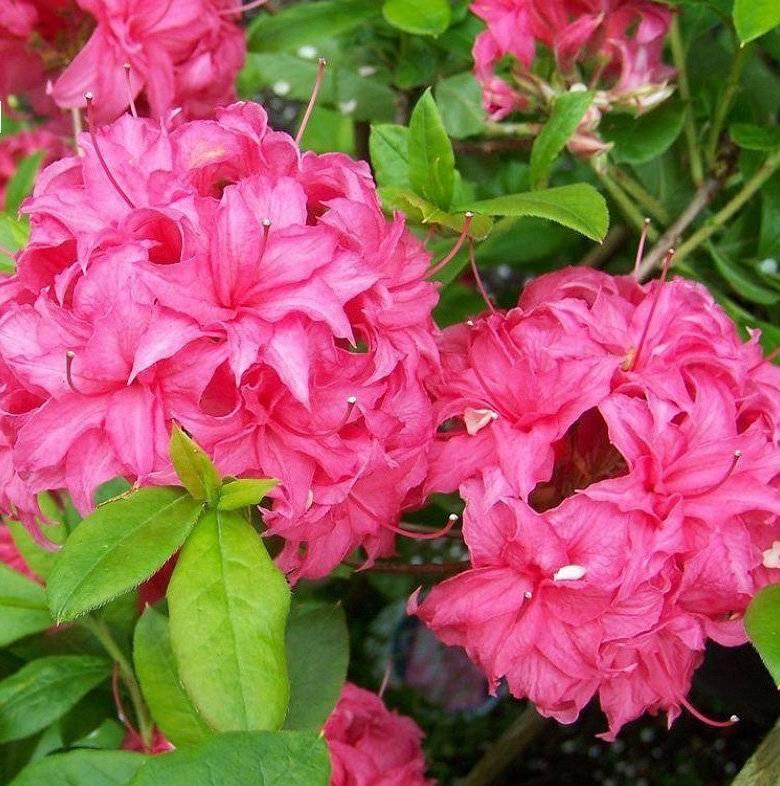 Азалия — цветок домашний, описание разновидностей