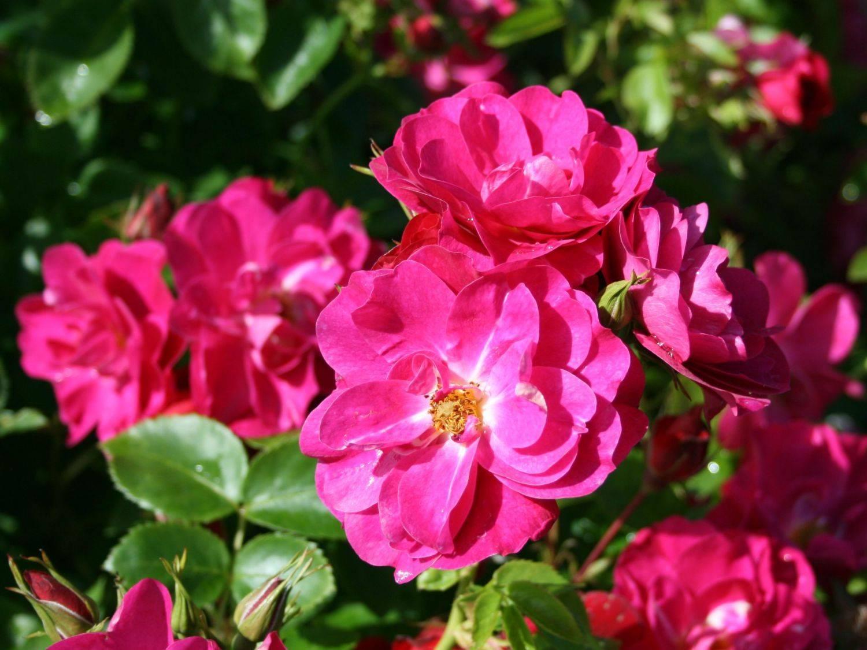 Канадские розы (27 фото): описание сортов «вильям баффин», «джон кэбот», «генри келси» и других. особенности плетистых зимостойких растений. как выбрать лучший сорт для подмосковья?