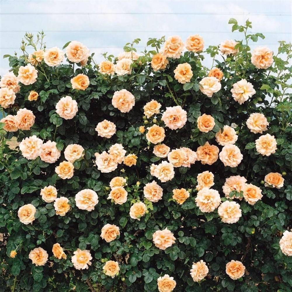 Самые популярные, красивые и душистые виды и сорта плетистых роз - описание и фото
