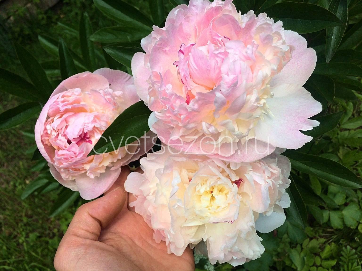 Пион «распберри» (30 фото): характеристика сорта, особенности пионов «сандей» и «роуз», «айс», «чарм» и других разновидностей. тонкости посадки, выращивания и ухода