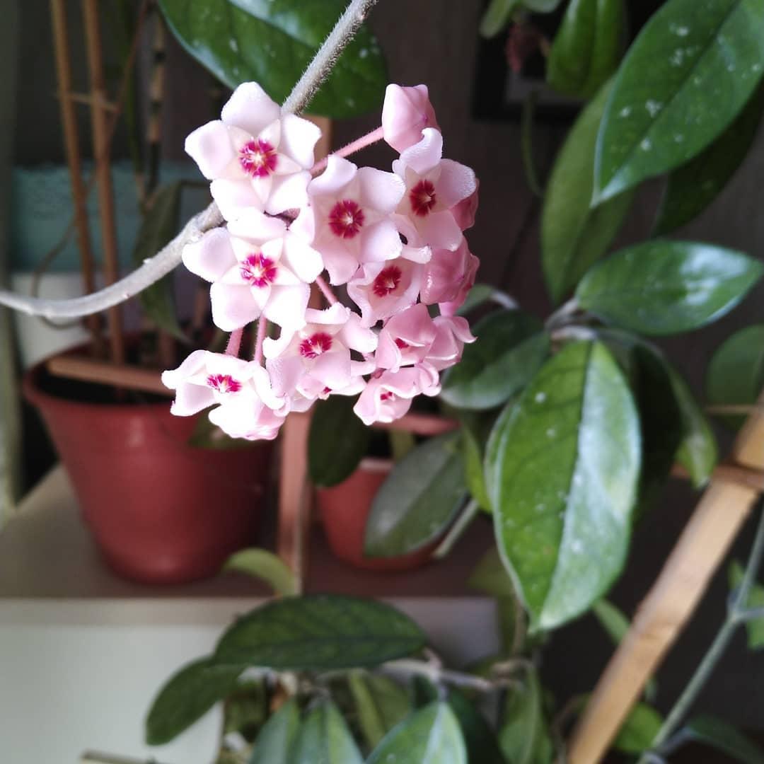 Комнатное растение дерево счастья. 10 комнатных растений, приносящих счастье и благополучие в дом