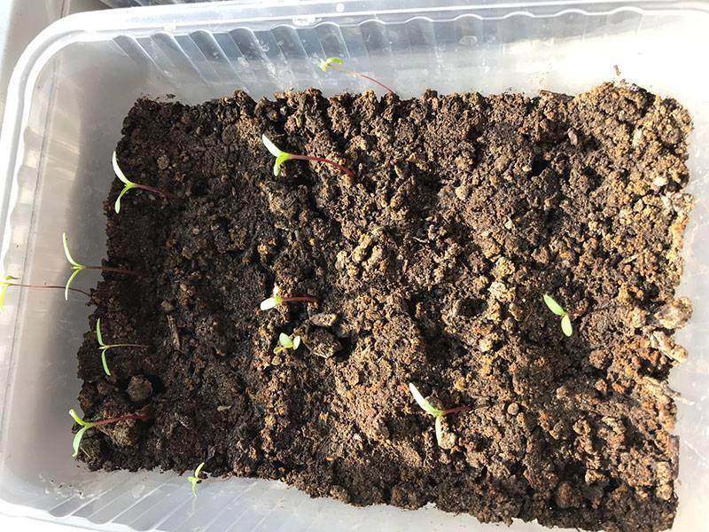 Настурция - посадка и уход в открытом грунте, настурция - выращивание из семян, когда сажать в саду рассаду