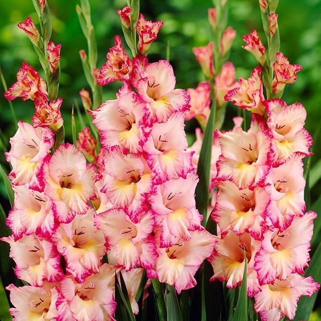 20 растений с розовыми цветками – однолетники и многолетники на любой вкус