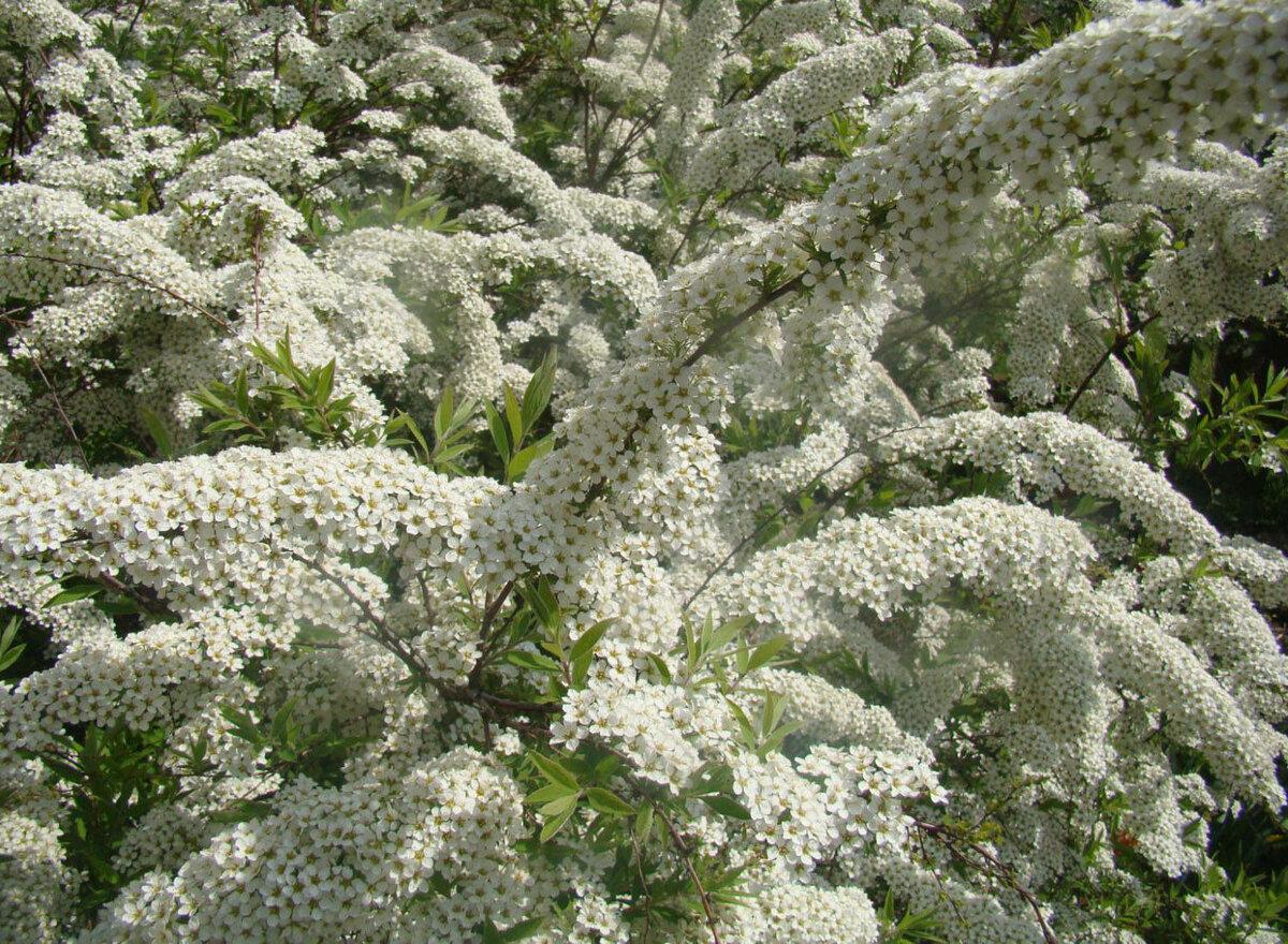 Красивоцветущие кустарники для сада, дачи: названия растений, виды, особенности выращивания