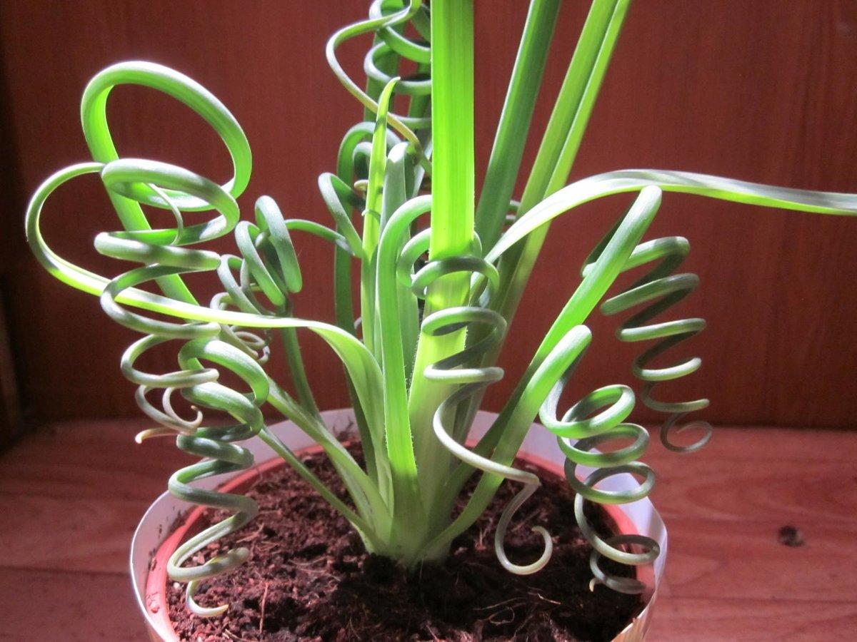 Нерине: посадка и уход за растением для удачного выращивания