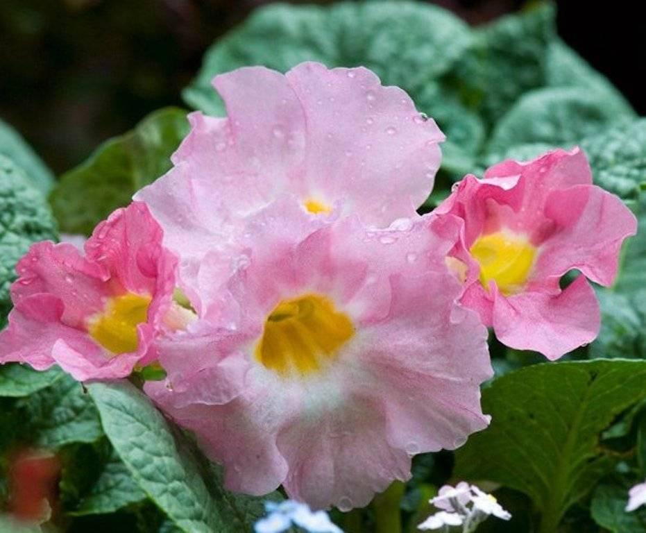 Инкарвиллея: посадка, выращивание и уход + фото