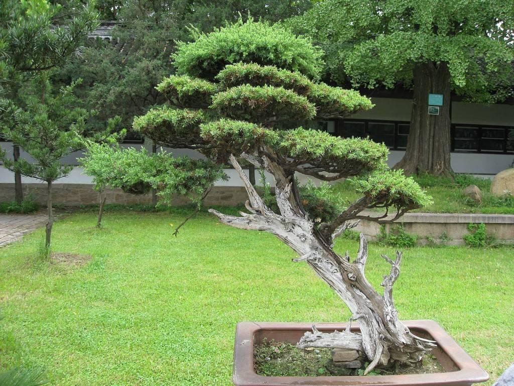 Чем отличается садовый бонсай от ниваки и как сделать красивую форму дерева