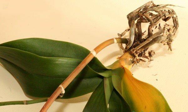 Почему у орхидеи вянут листья: причины и методы борьбы с ними