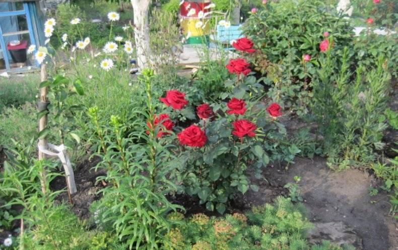 Описание английской розы сорта эл ди брейтуэйт: как выращивать «остинку», уход
