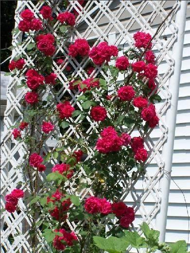 Роза флорибунда клайминг румба: отзывы, фото, описание сорта и особенности выращивания и ухода
