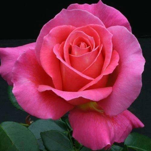 Роза Версилия (Versilia) — описание кустового сорта