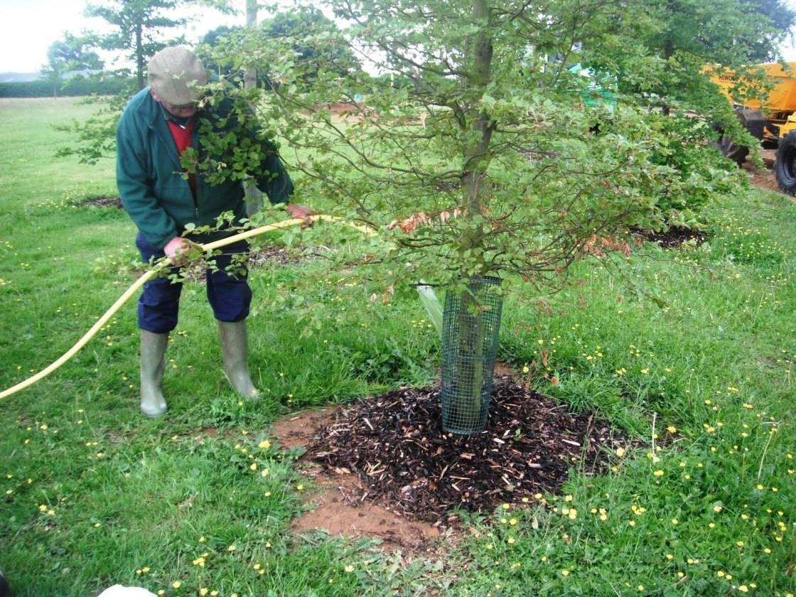 Дерево конский каштан: цветение, где растет и как выглядит