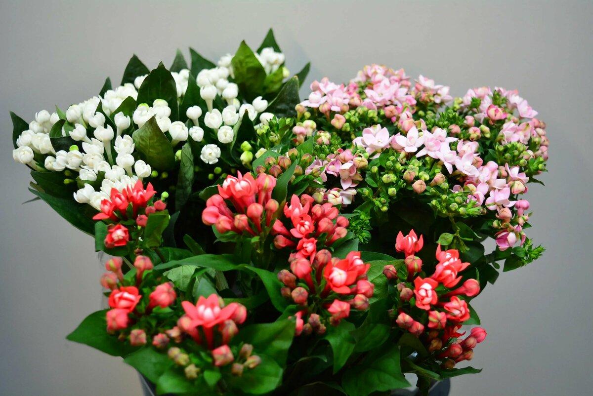 Бувардия цветок: уход в домашних условиях и способы размножения