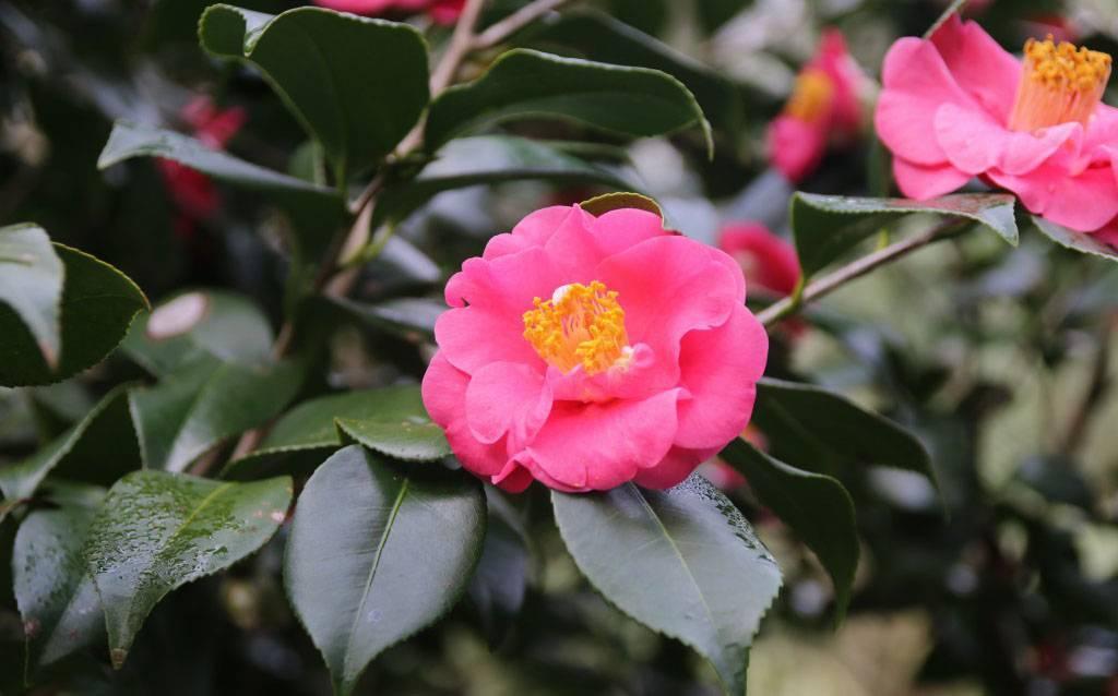 Камелия: сорта цветка, описание, посадка и уход в домашних условиях