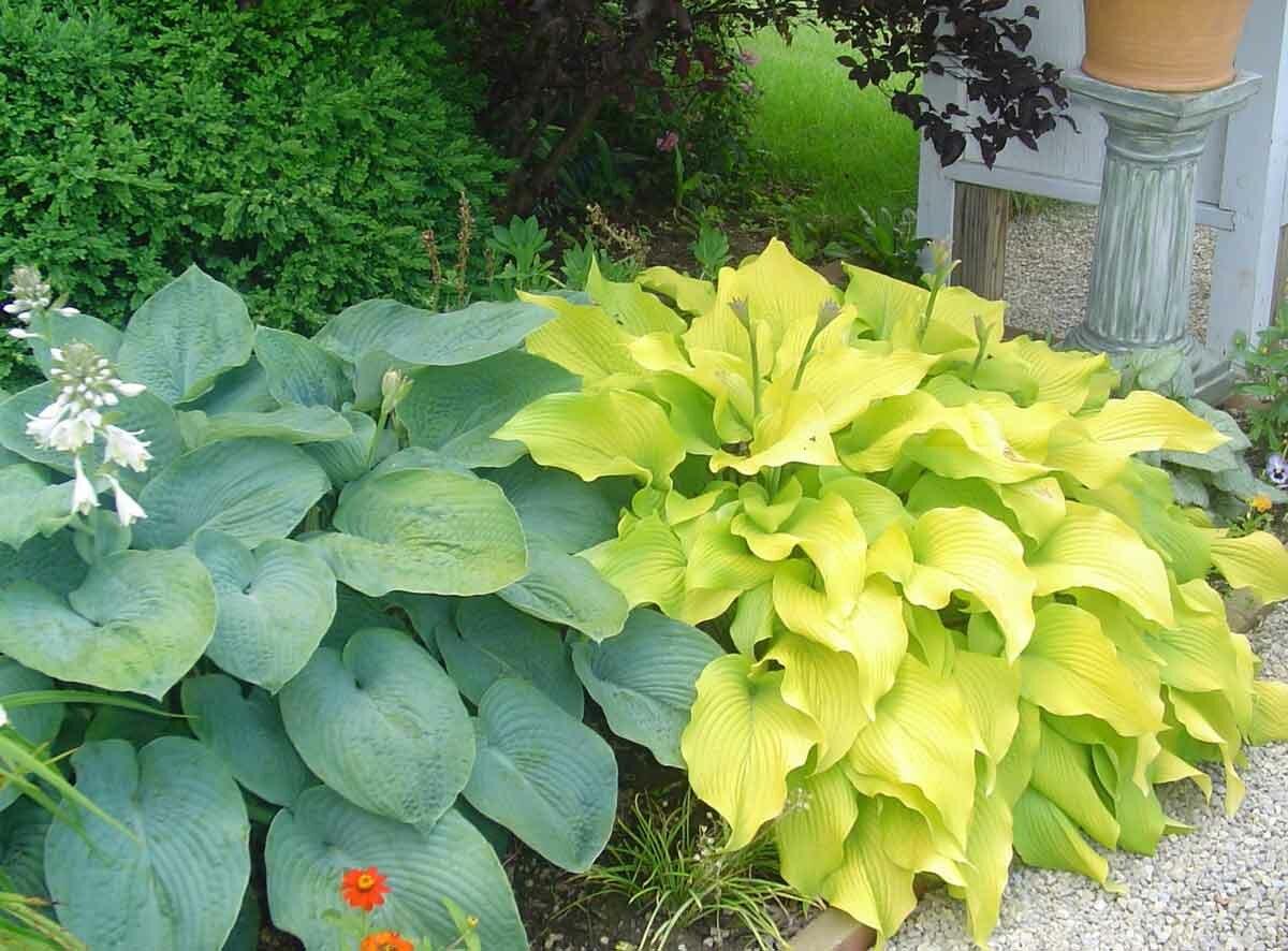Самые красивые сорта хост с желтыми листьями