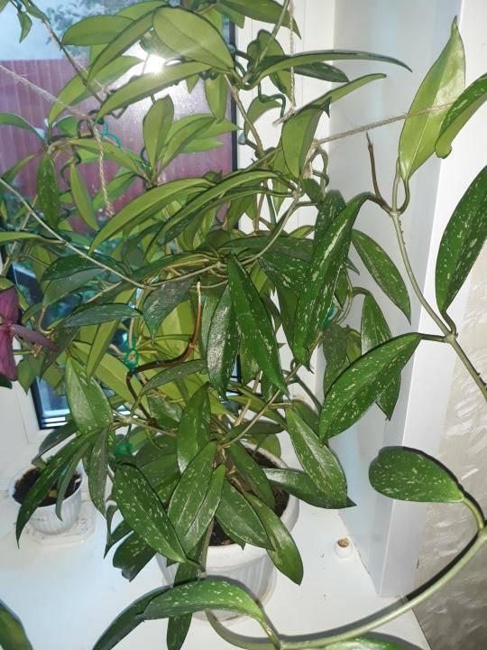 Растению необходима помощь. вредители и болезни пеларгонии