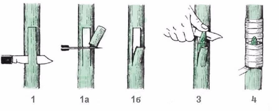 Прививаем розу на шиповник: пошаговая инструкция к выполнению работ и видео