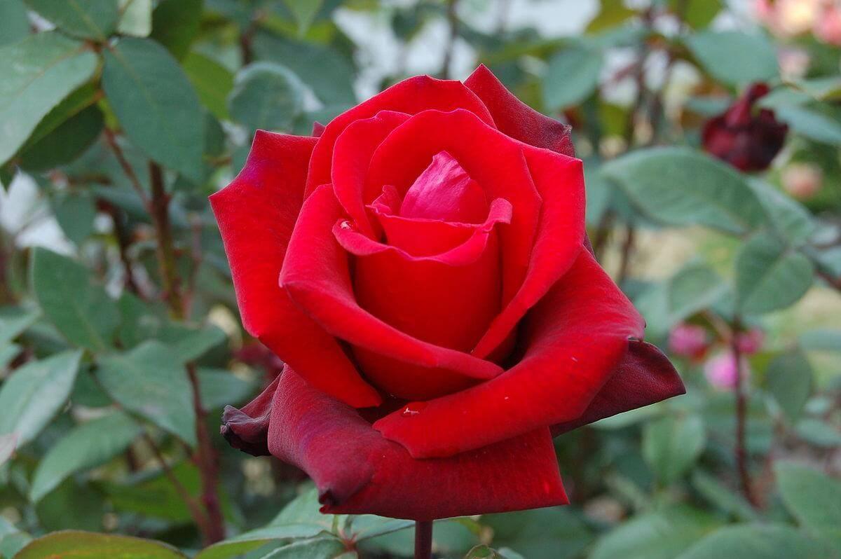Чайные и чайно-гибридные розы – в чем разница?