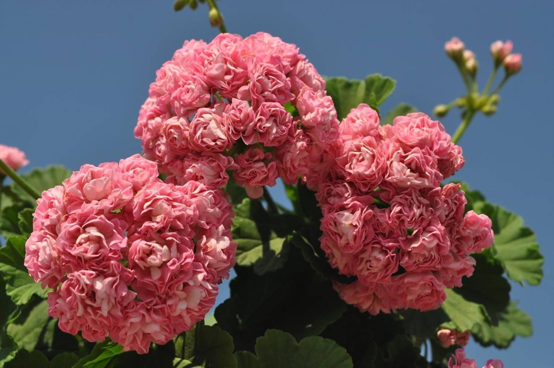 Пеларгония австралийский розебуд: история происхождения, описание внешнего вида, выбор места и почвы для посадки, грамотный уход за растением, а также размножение