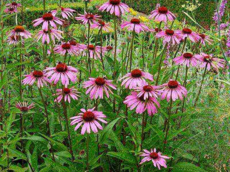 Цветок эхинацея: посадка и уход в открытом грунте, фото, виды и сорта, свойства