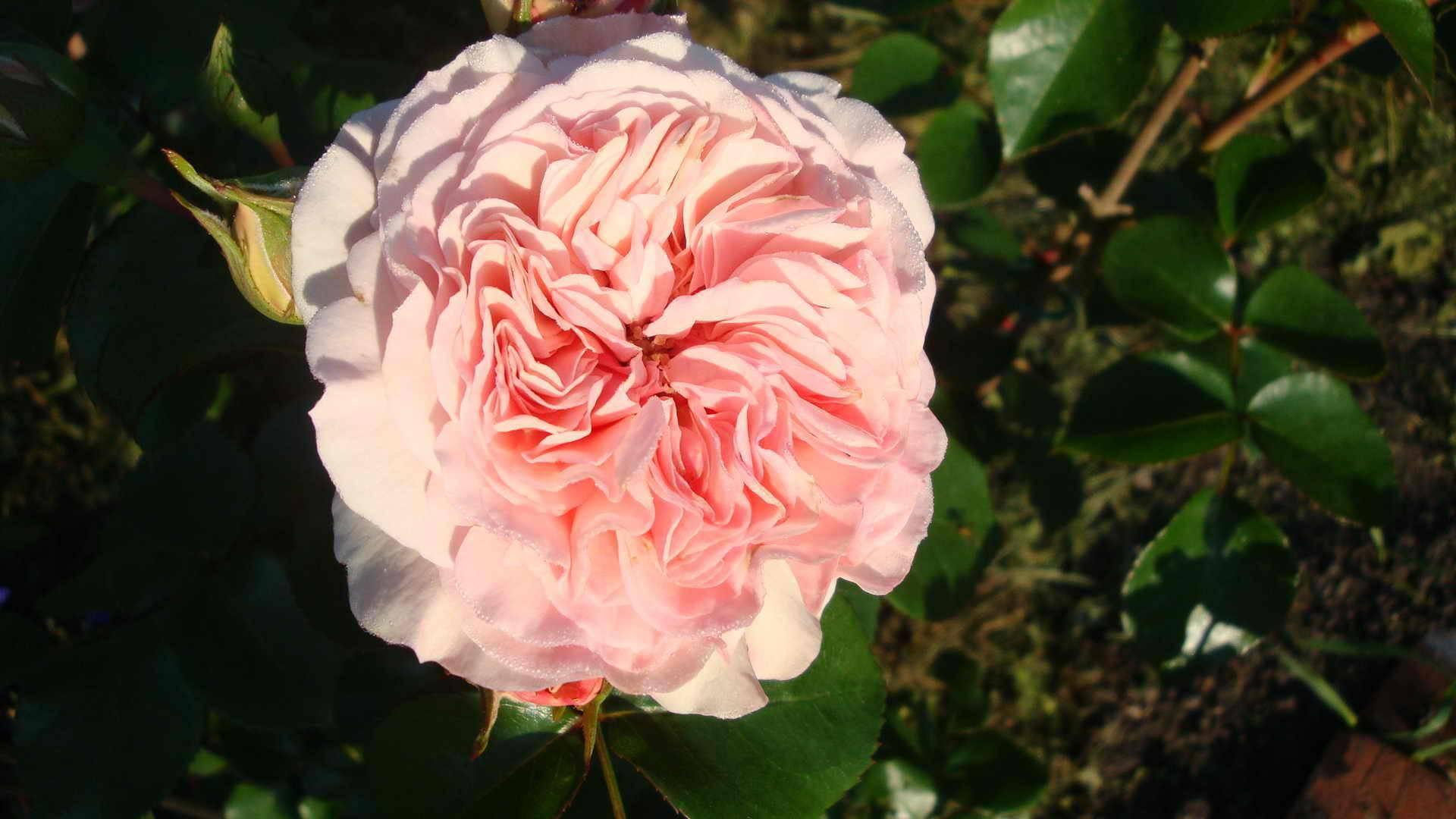 Как ухаживать за канадской парковой розой сорта морден блаш из группы шрабов