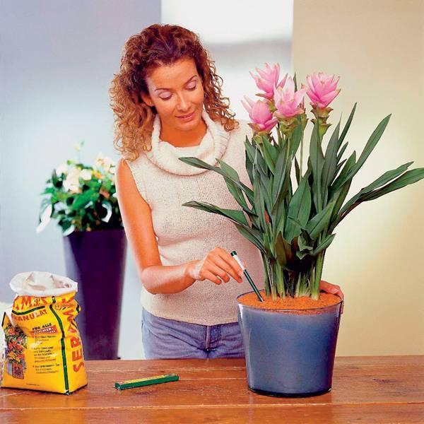 Аспидистра: уход в домашних условиях, особенности выращивания