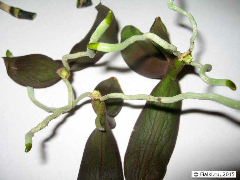 Укоренение хризантем из букета, который подарили, выращивание из черенка