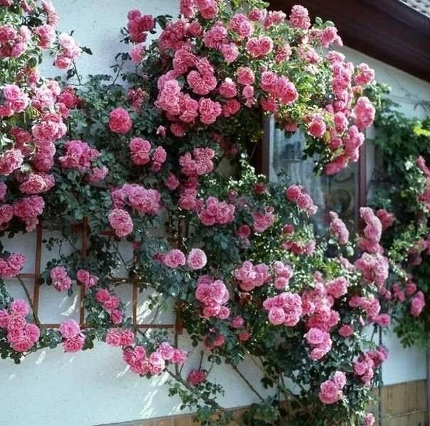 Почему не цветет домашняя роза в саду