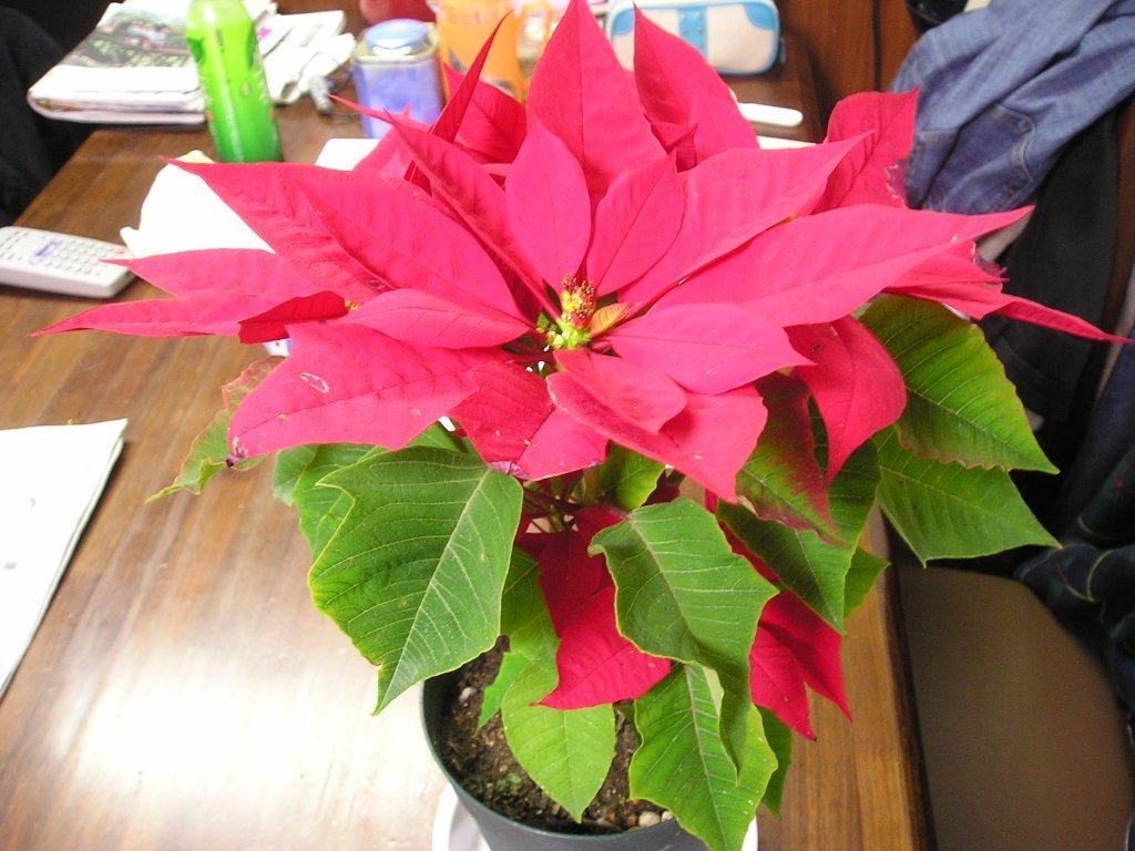 """""""рождественское дерево"""". цветок """"рождественская звезда"""". описание, советы по выращиванию в домашних условиях"""