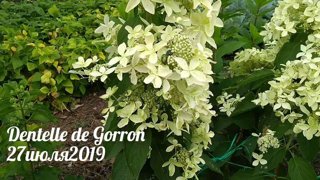 Гортензия дентель де горрон (dentelle de gorron): описание, посадка и уход, фото, отзывы