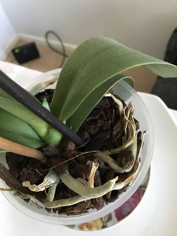 Как спасти орхидею от увядания и загнивания?