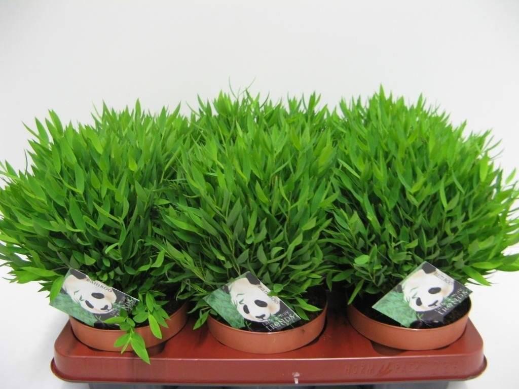 Бамбук: выращивание в открытом грунте