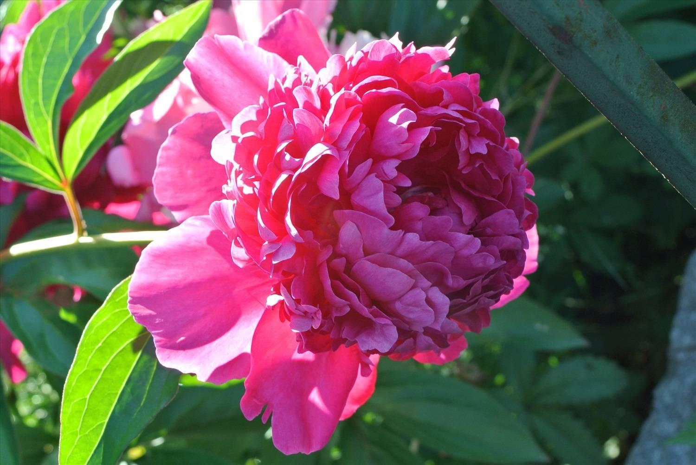 Пион распберри сандей (paeonia raspberry sundae)