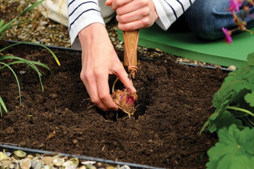 Пересадка лилий осенью: когда и как посадить правильно