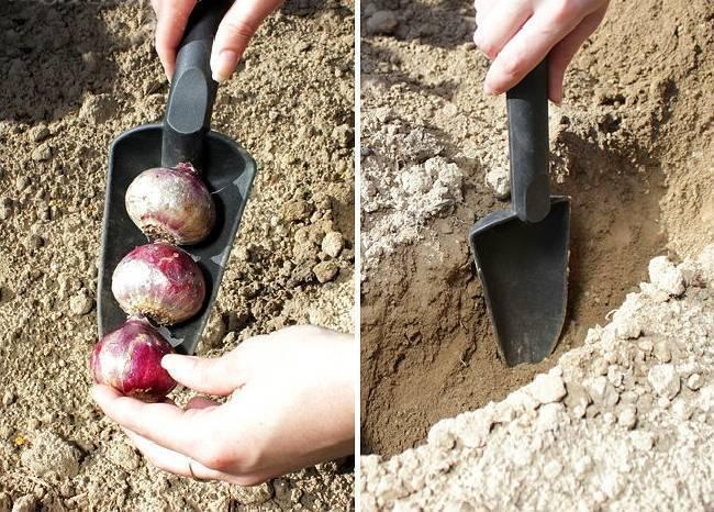 Посадка гиацинтов: время сажать гиацинты, когда высаживать (сроки посадки) и как посадить гиацинты дома