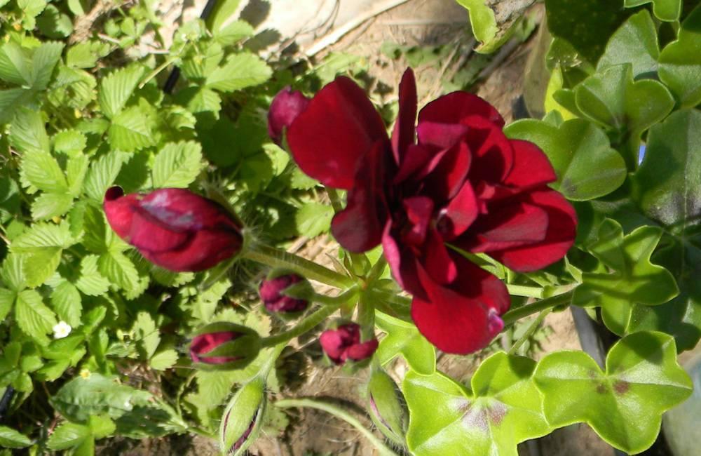 Герань плющелистная: выращивание из семян - лучшая инструкция!