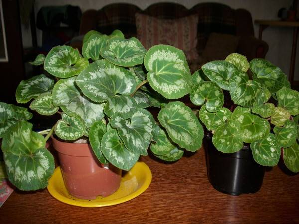 Возможные проблемы при выращивании цикламена: не цветет, опадение листьев и другие