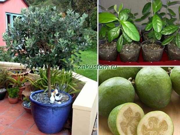 Фейхоа: выращивание в домашних условиях, в открытом грунте, как растет ананасная трава, как цветет, фото