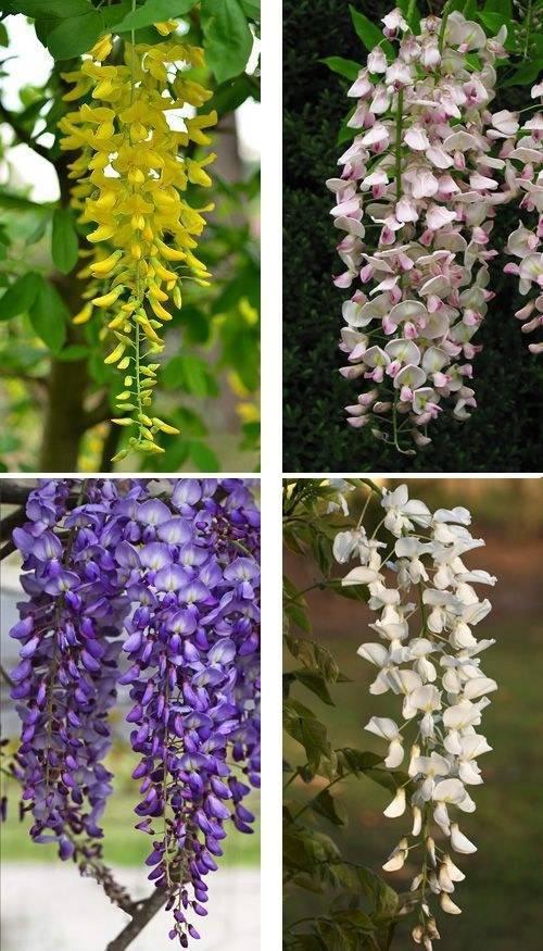 Цветок глициния: посадка и уход в открытом грунте, фото, выращивание из семян
