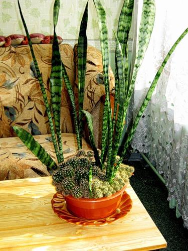 Цветок тещин язык (сансевиерия): фото, разновидности растения, уход в домашних условиях, пересадка, болезни